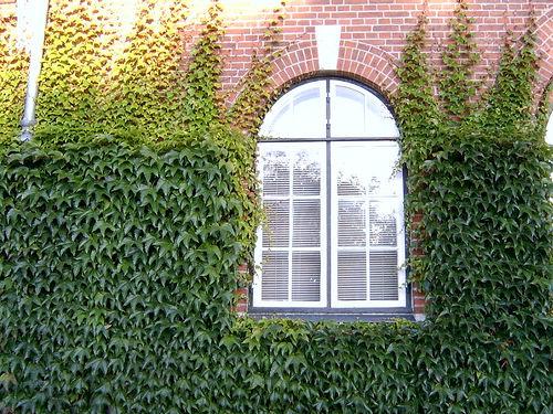 plante grimpante pour mur