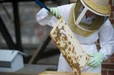 Le miel au goût de menthe des toits de Rosemont
