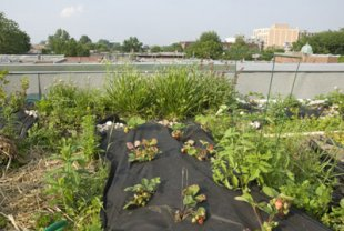 Toit végétal intensif (avec jardin potager ou jardin-terrasse).